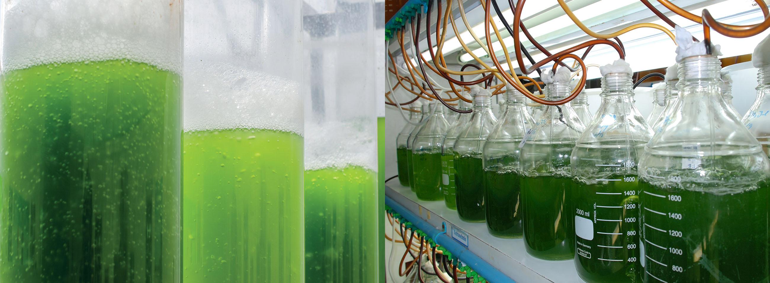 lavorazione-alghe-collage
